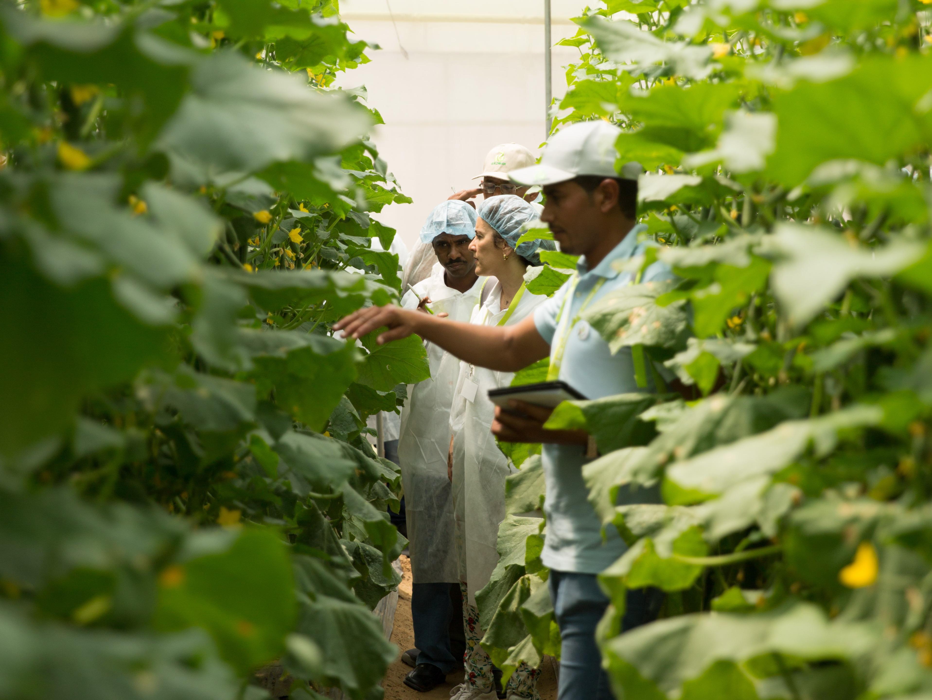 Growers and Rijk Zwaan advisors in cucumber greenhouse